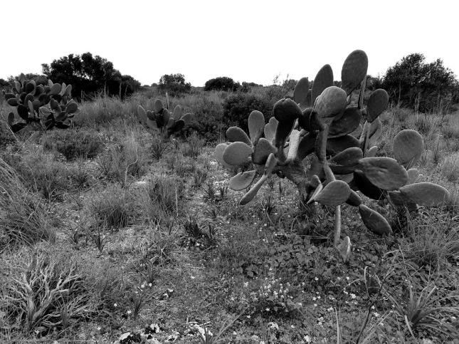 vendicari-kaktusai (3)